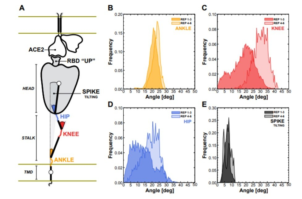 Flexibility of the spike bound to the ACE2 receptor