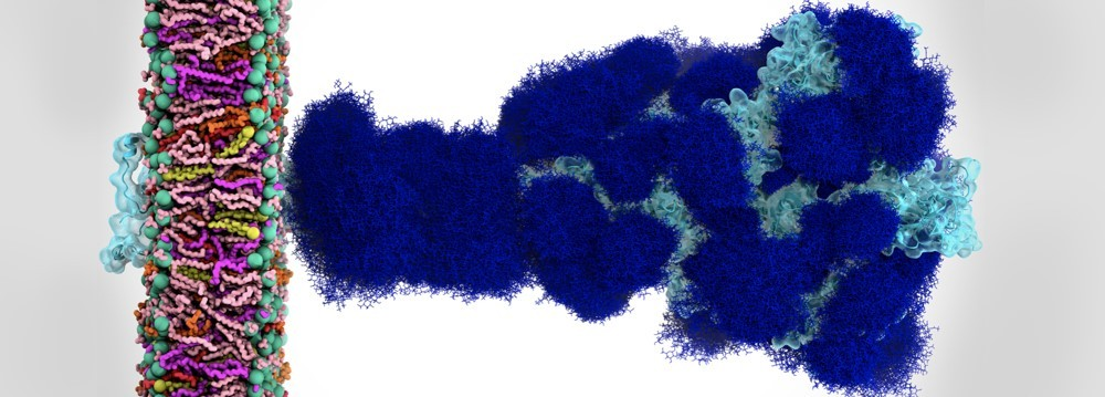 The sugary coating of molecules called glycans (deep blue) that shield the SARS-CoV-2 spike from detection by the human immune system